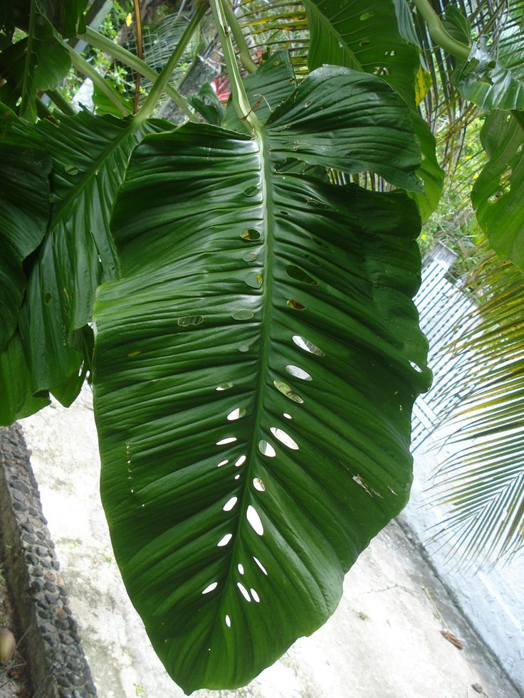 Monstera lechleriana | Plant Purnz | Plants, House Plants ...