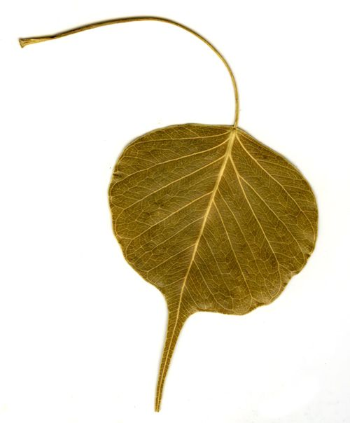 Bodhi leaf. I think I'm going to make some clay ones for my bodhi tree this year.
