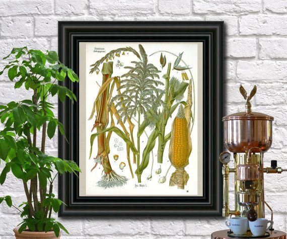 Corn antique botanical print Vintage Maize by FabVintagePosters