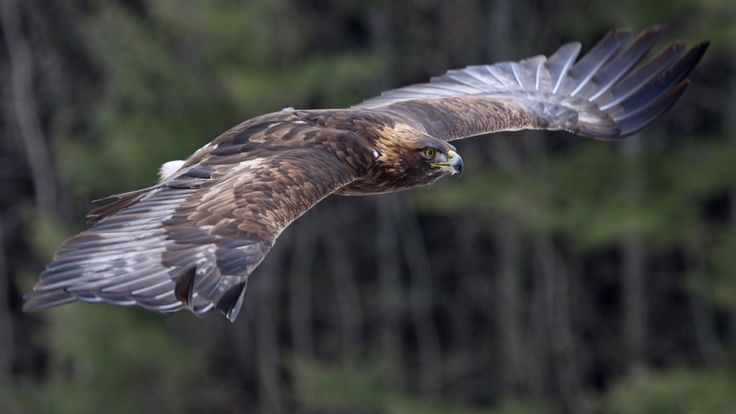 Eighth tagged eagle 'disappears' in Monadhliaths, says RSPB - BBC News