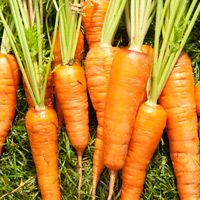 Carrots – Plant with beans, Brassicas, chives, leeks, lettuce, onions, peas, peppers, pole beans, radish, rosemary, sage, and tomatoes. Avoid planting with dill, parsnips, and potatoes. Carrots planted near tomatoes may have stunted roots, but will have exceptional flavour. Chives also benefit carrots.