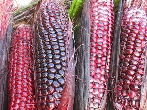 Double Red Sweet Corn   Peace Seedlings