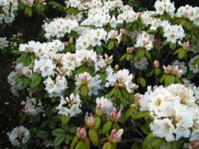 Hirsutum.info -- Rhododendron Hybrids/cultivars: 'Maharani'