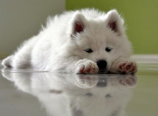 samoyed puppy laying down