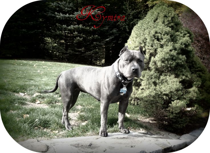 Sound-Side Pitbulls, American Pitbull Terriers, blue nose pitbulls, ct pitbulls, razors edge pitbulls, ct pitbull breeder, Connecticut, Pitbull Puppies, Dog Vitamins, Bully Max, Collars,Leashes, Pitbull Apparel, dog obedience training, protection training, k9 bite training