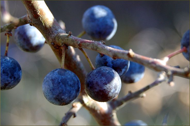 sloe berries before the first frosts   Yesterday we went sloe berry hunting. Our favourite location seems to have remained a secret from b...