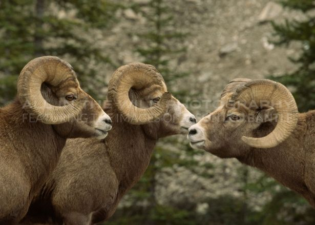 THE BOYS CLUB Canadian Rockies These bighorn rams had been challenging each other in displays of dominance. In this image, they seem to have come together for a 'meeting of the minds.' Big horn sheep are not an animal that I have much opportunity to photograph and I felt fortunate to get these three males with their impressive horns in the same shot.