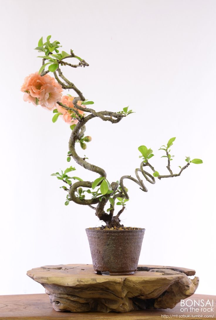 Bonsai Tree 21 Excellent 1800 Flowers Bonsai Pictures