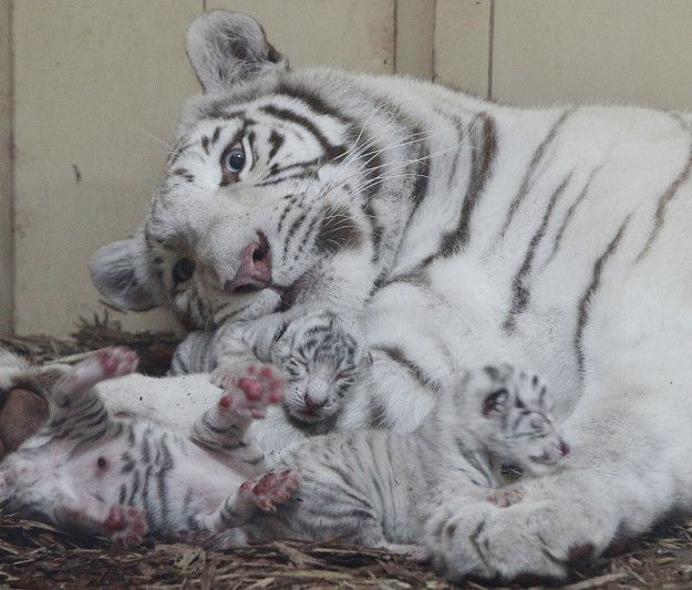 Four rare white lions and three white tigers have been born at a private zoo in Poland within the past week, officials announced Thursday.
