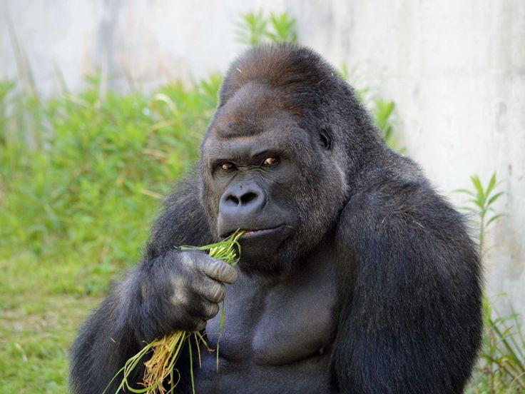 O gorila Shabani, que tem 18 anos e pesa 180 kgs, está causando furor entre os visitantes do zoológico Higashiyama, em Nagoya, no Japão. O número de visitantes do sexo feminino aumentou desde que o animal foi escolhido como estrela do festival da primavera no zoológico. Segundo o porta-voz Takayuki Ishikawa, as mulheres são atraídas pelo seu físico e pelos trejeitos de galã