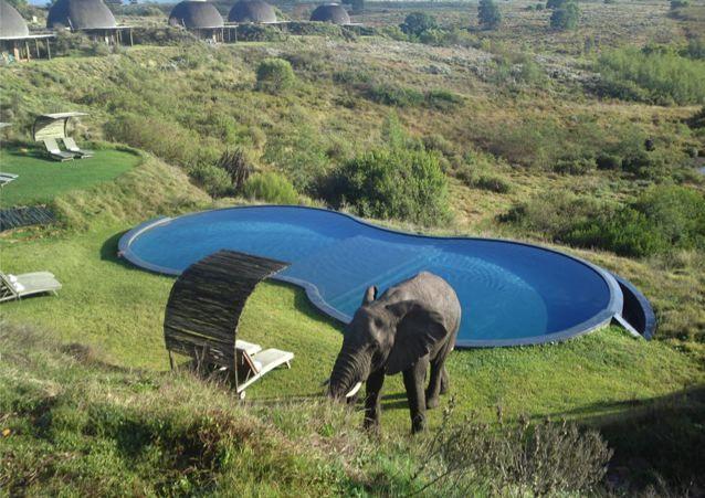 Elephant Visiting Kwena Lodge Pool