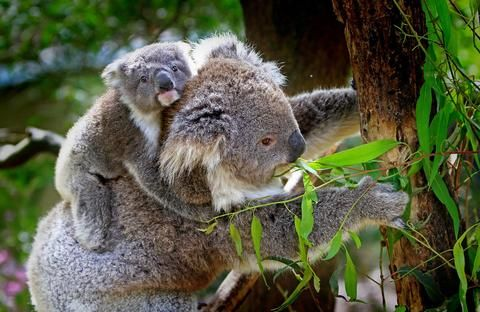 Koala Threatened status