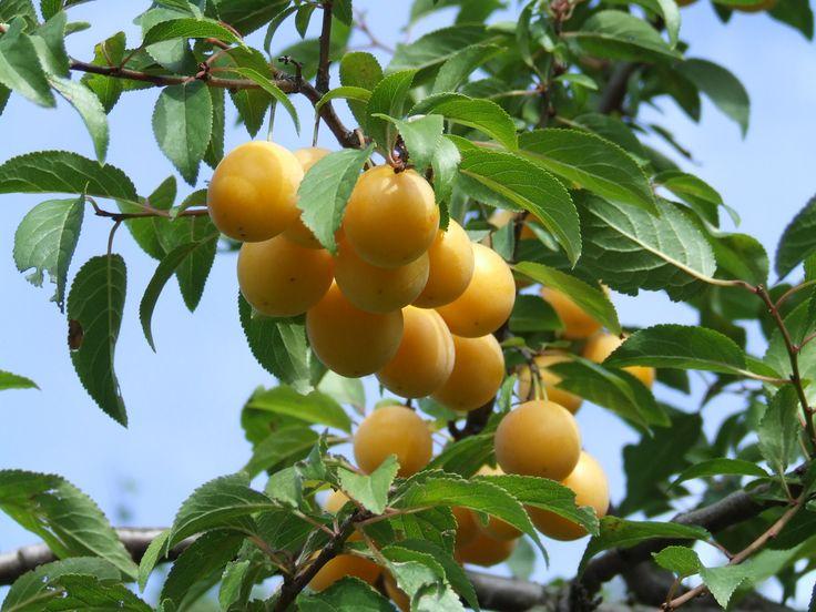4 datos curiosos sobre el ciruelo - http://www.jardineriaon.com/4-datos-curiosos-sobre-el-ciruelo.html #plantas