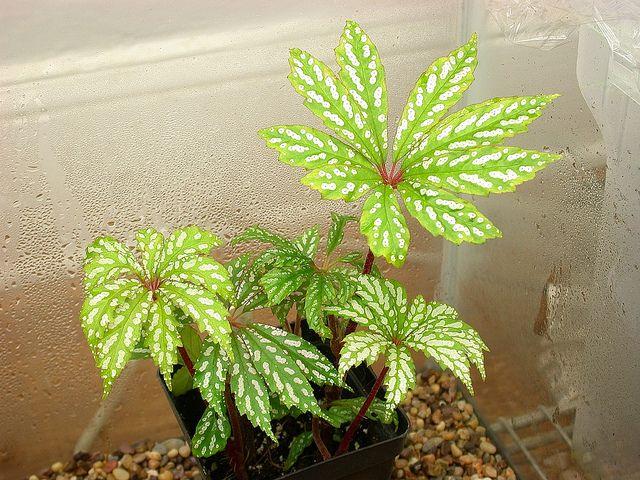 Begonia hemsleyana