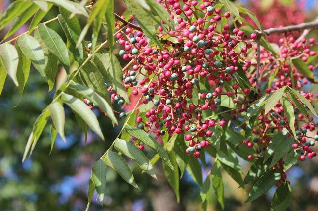 "Chinese pistache (Pistacia chinensis) ""It's a bit slow to get going; start with a larger nursery tree if you're in a hurry. Prune it during winter to shape it and control the size."""