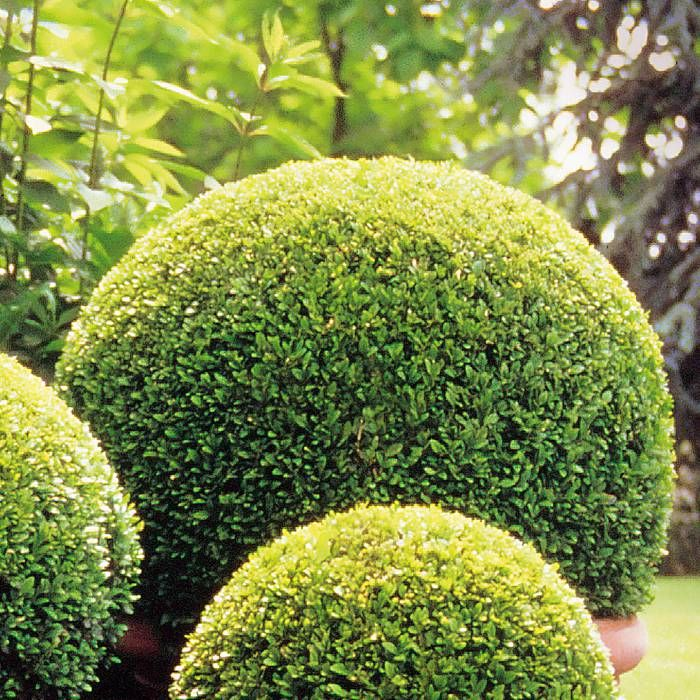 1. 3 Buksbom  balder - klipped in half balls buxus - clipped into balls, adding structure to the front garden beds