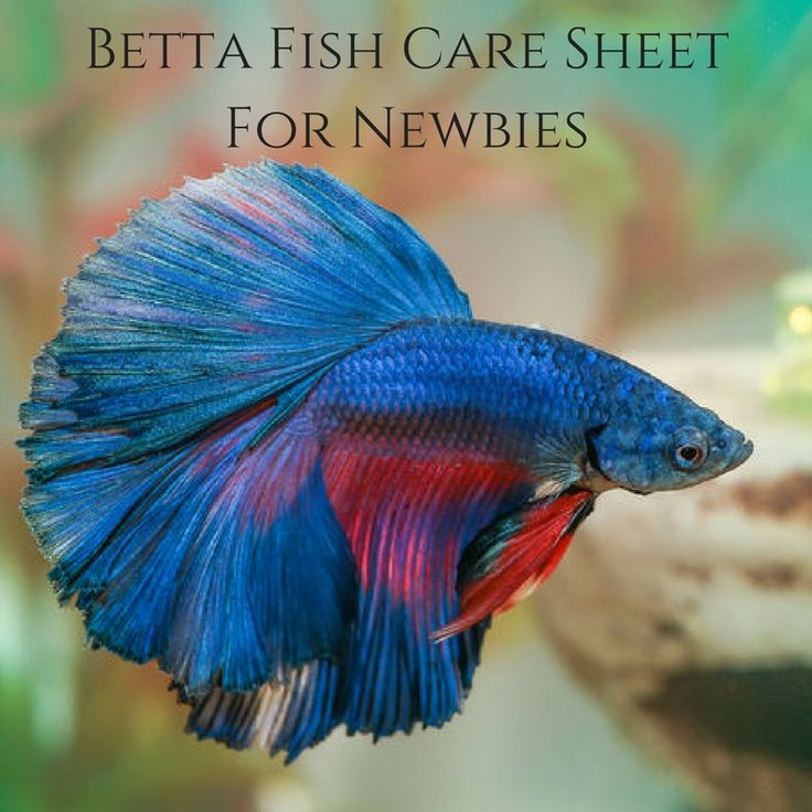 177 best betta fish images on pinterest for Betta fish care sheet