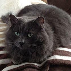 Cambridge, Ontario - Domestic Shorthair. Meet Fuzzy, a for adoption. https://www.adoptapet.com/pet/4816337-cambridge-ontario-cat