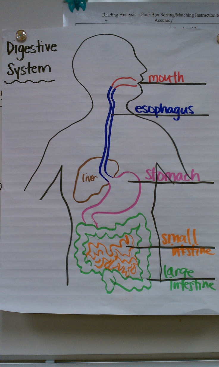 Digestive System Drawing Color Coding  5th Grade