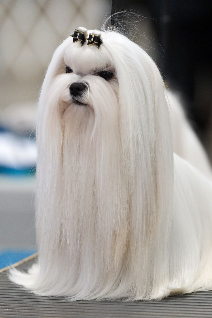 Adult Maltese Haircut - I can't imagine having to keep up with all that long hair!                                                                                                                                                     Mais
