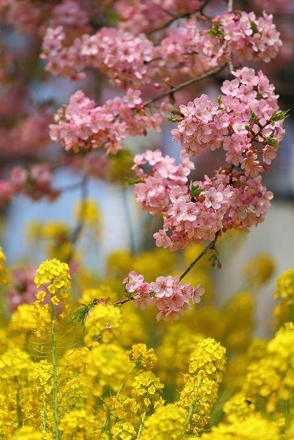 Kawazu-zakura cherry blossoms in Matsuda, Kanagawa, Japan 松田山の河津桜