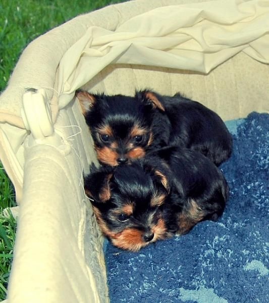 Most Inspiring Cuby Chubby Adorable Dog - 66ec5603ea2e417093d8cdc310db2758--yorkie-puppies-baby-puppies  Pic_205035  .jpg