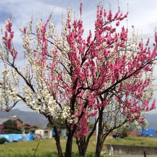 へー花桃って一本の木にいろんな色の花がつくんだ。 でも、食べる桃にはならないそうです。