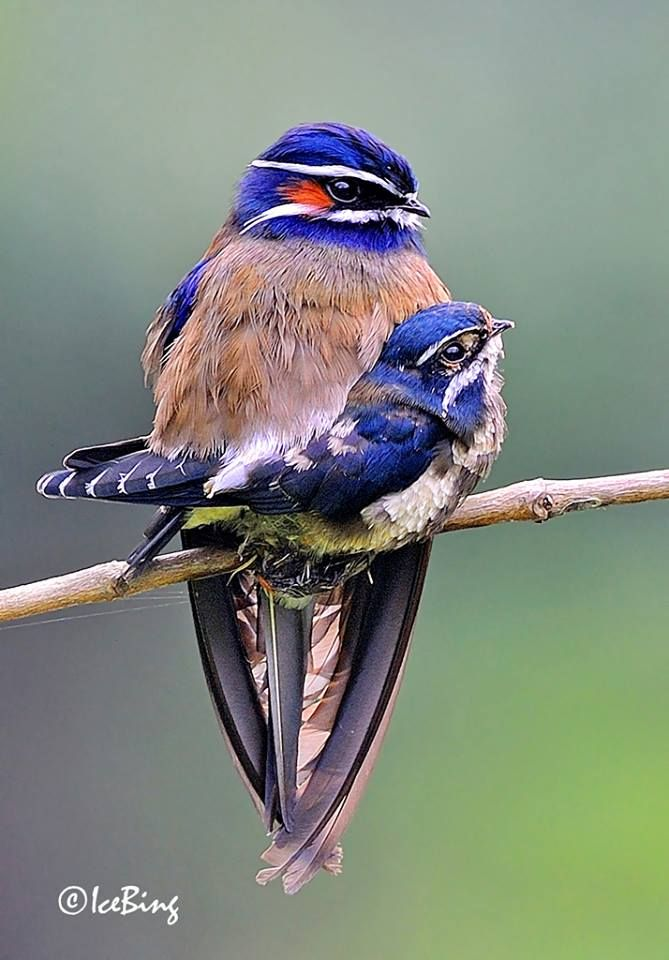 Whiskered Treeswift (Male&child) by Chan Icebing. Photograph within the Japanese Backyard, B…