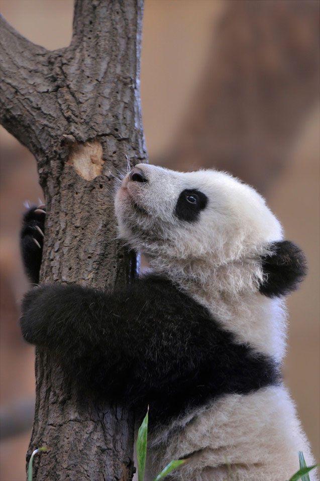 Fu Bao the Baby Giant Panda