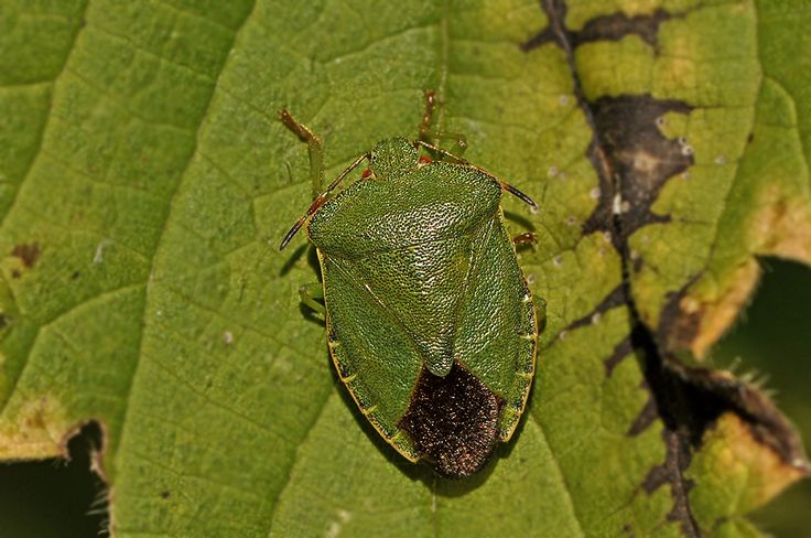 Palomena prasina - Green Shield Bug