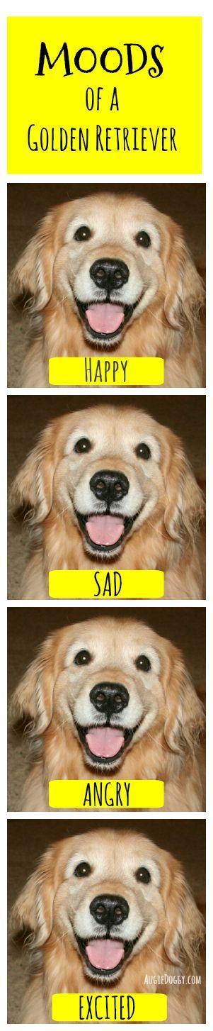 Moods of a golden retriever #funny