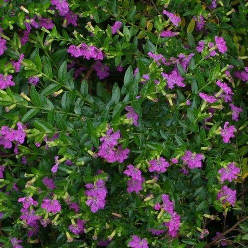 Cuphea hyssopifolia Mauve