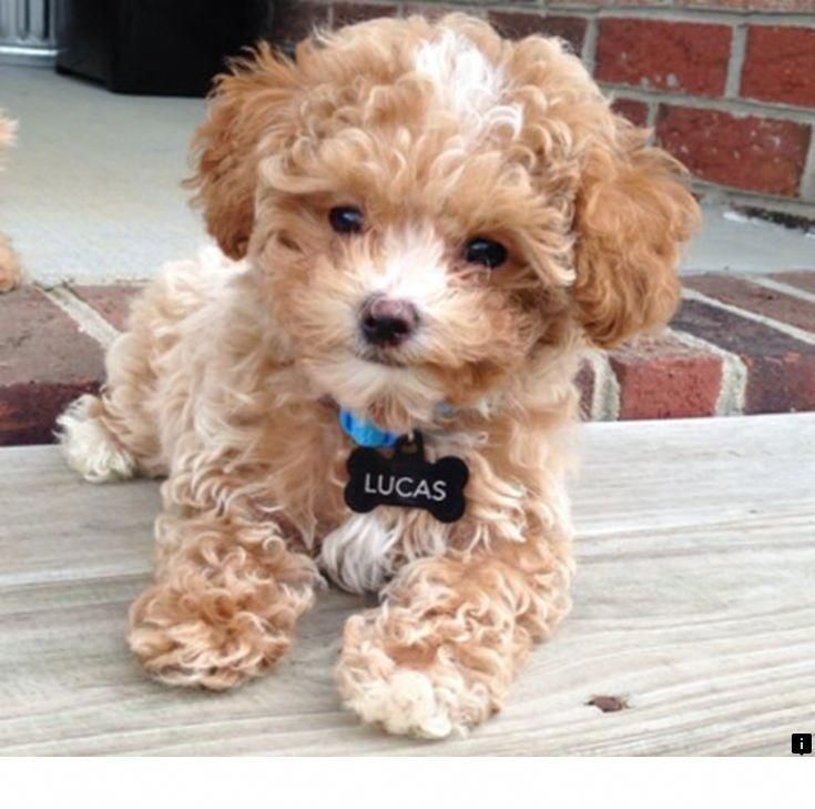 Learn About Dog Breeds Follow The Link To Find Out More Our Web Images Are A Must See Teddy Bear Puppies Teddy Bear Dog Puppies