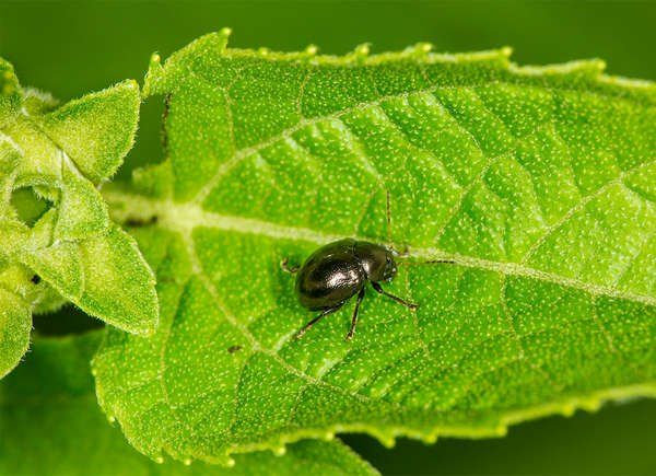 66ee5eeaffdfe0d49acb48bd3778353e - How To Get Rid Of Flea Beetles In House