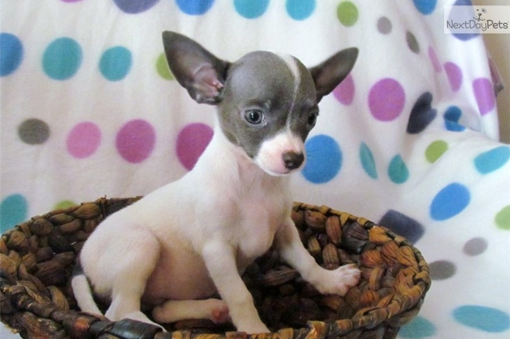 chihuahua puppies for sale in nc best 25 chihuahua puppies for sale ideas on pinterest 892
