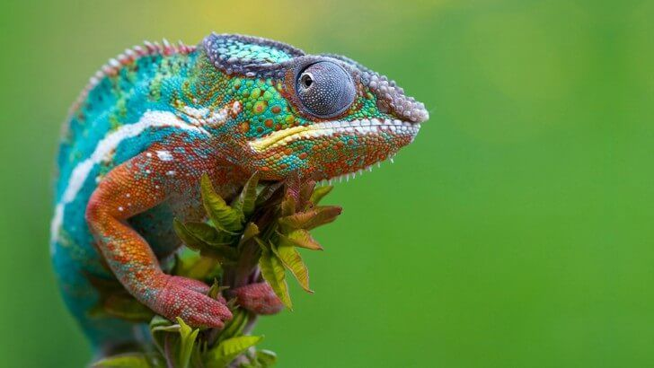 Colorful Panther Chameleon Wallpaper HD wallpaper available in various resolutions including [1024x768] [1280×800] [1366x768] [1440×900] [1600x900] [1920x1080] [2880x1800] and Up to [3840x2160] 4K Ultra High-Definition to suit your computer desktop, iPhone, iPad & Android™ devices, and discover more Animals wallpapers.
