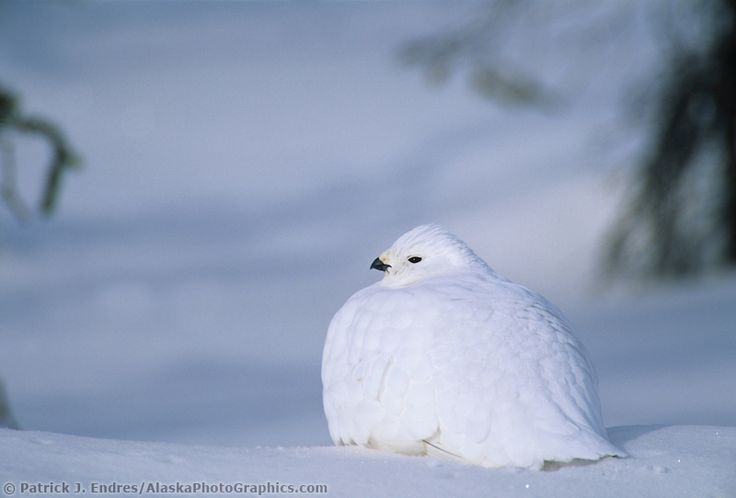 Willow Ptarmigan in white plumage, snow covered tundra, Arctic, Alaska.