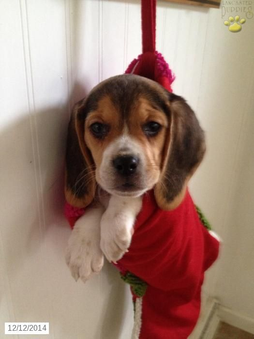 Beagle Puppy for Sale in Pennsylvania Beagle puppy, Cute