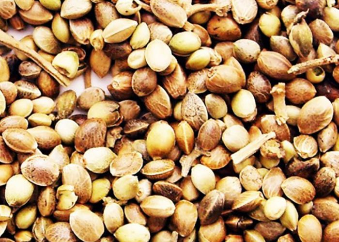 как выглядит семена кедра
