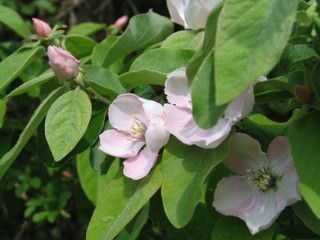Cognassier : fleurs et feuilles