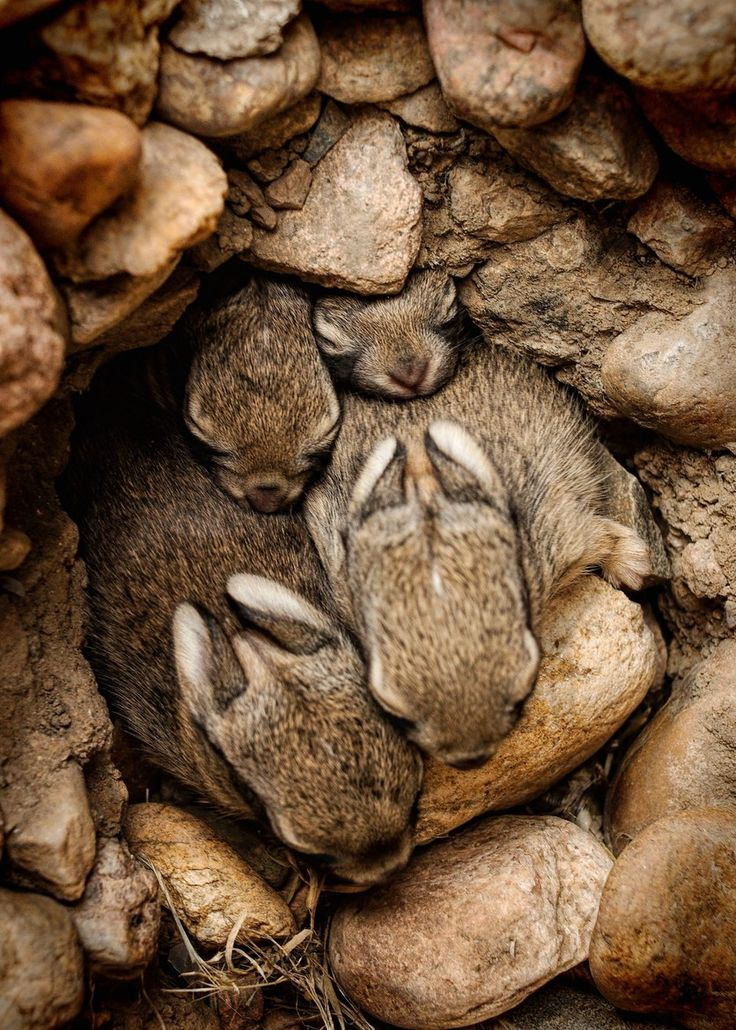 Brown - Nest of Bunnies by Johnny Gomez