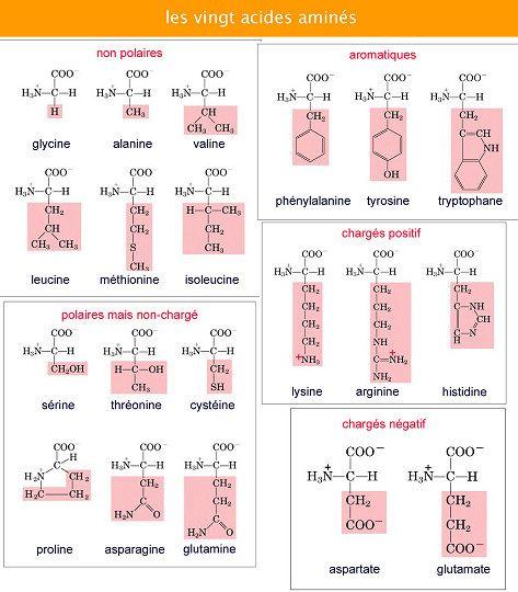 comment apprendre les acides amines