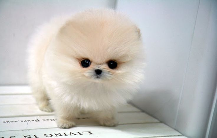 Funny Teacup Pomeranian Puppy Dog
