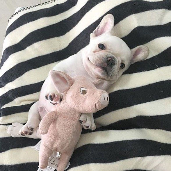 Piggy, the French Bulldog Puppy with her Piggy, I have no words❤️❤️❤️❤️