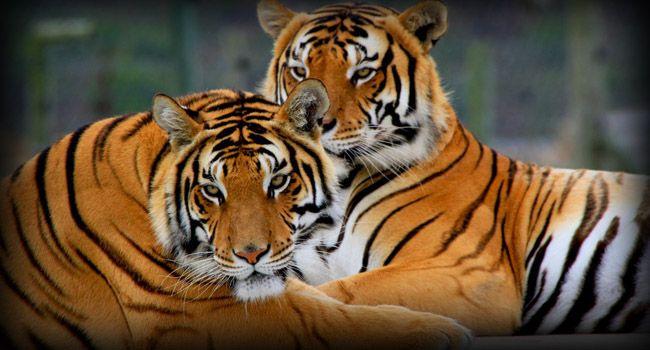 Tigers at Cango Wildlife Ranch