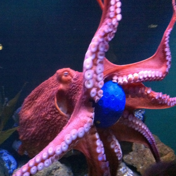 24 best national aquarium images on pinterest aquariums for Octopus fish tank