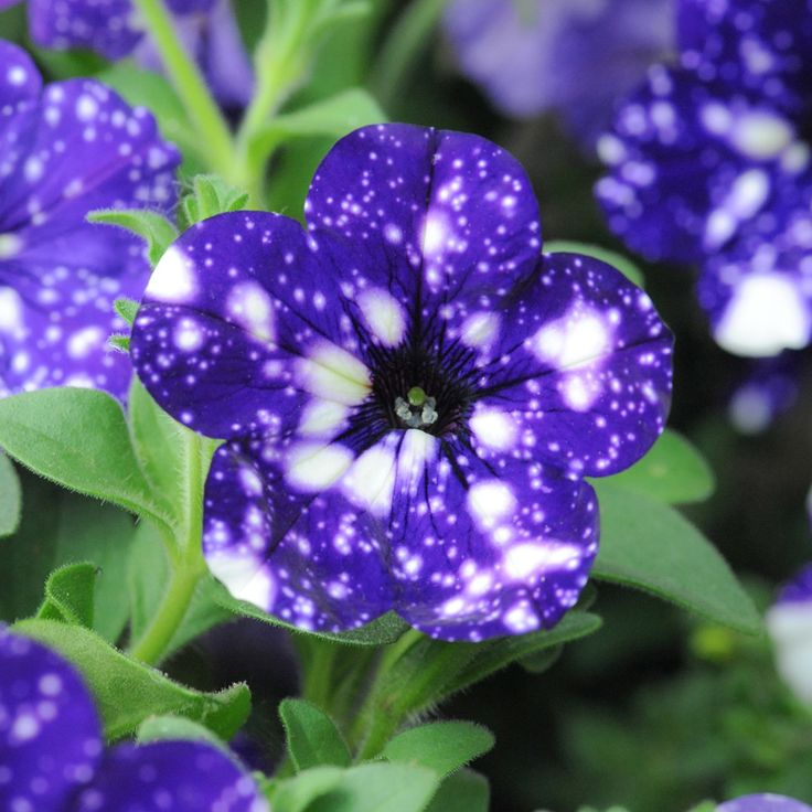 Petunia 'Night Sky'  - can boast the starry speckled pattern. White speckles against a deep purple-blue backing recreate a clear night sky.