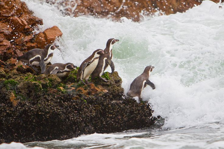 Reserva Nacional Pingüino Humboldt  -Chile-