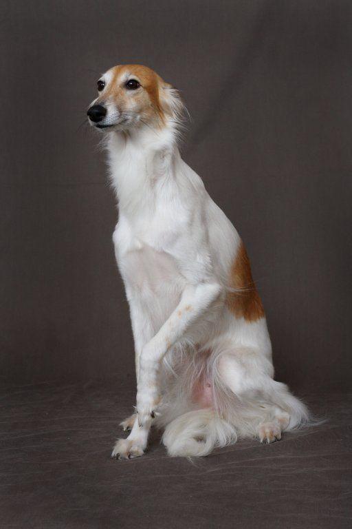 A Borzoi Dog Longhaired Whippet.......
