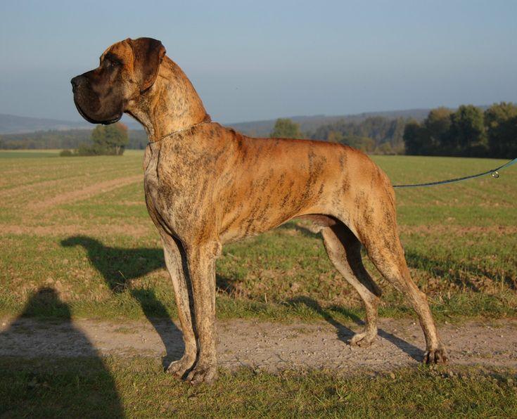 gestromte deutsche dogge Familie Deutsche Dogge IMPERIAL